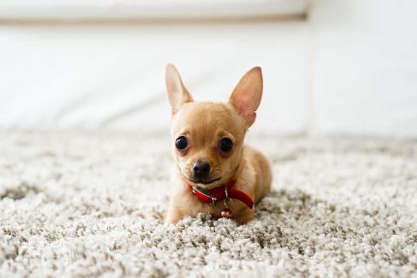 Carpet Cleaning Tips for Pets